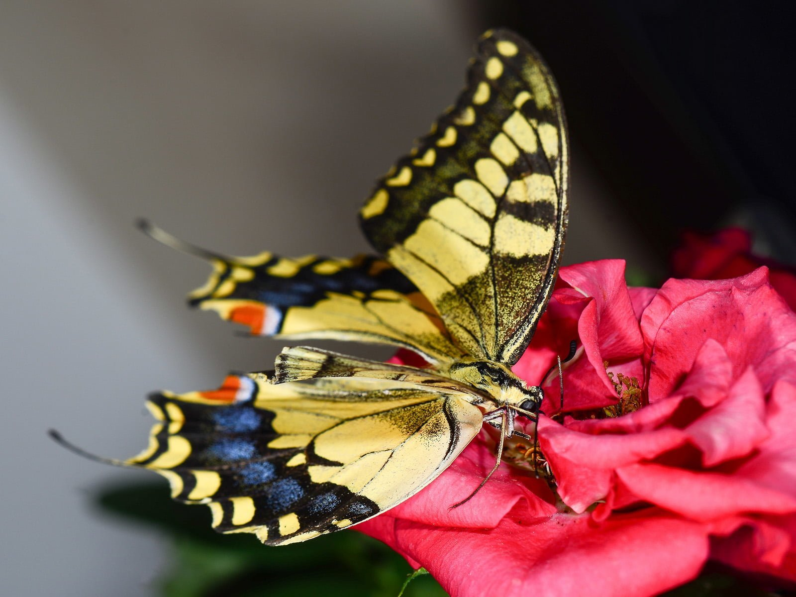 kelebek resimleri – 19