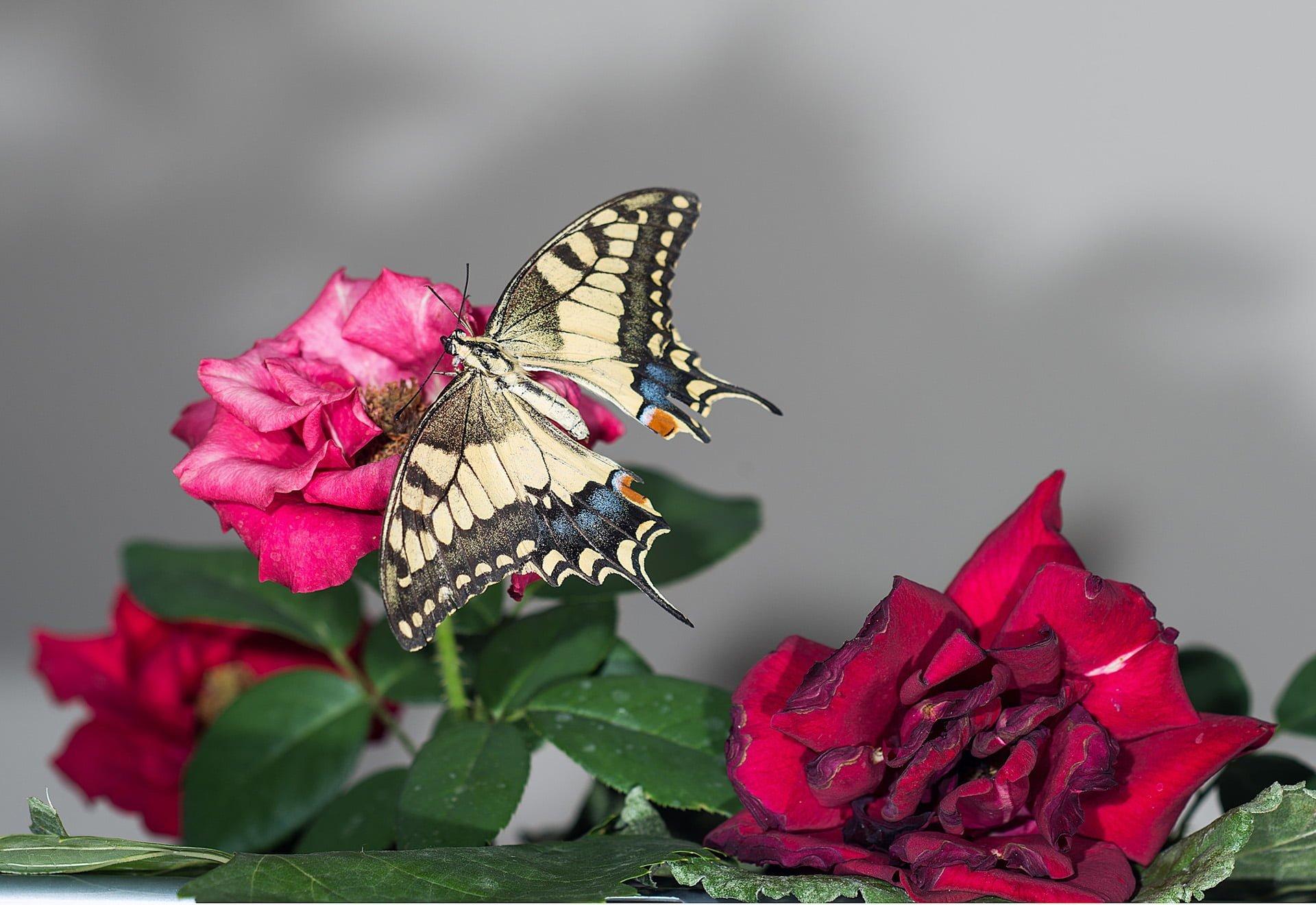 kelebek resimleri – 20