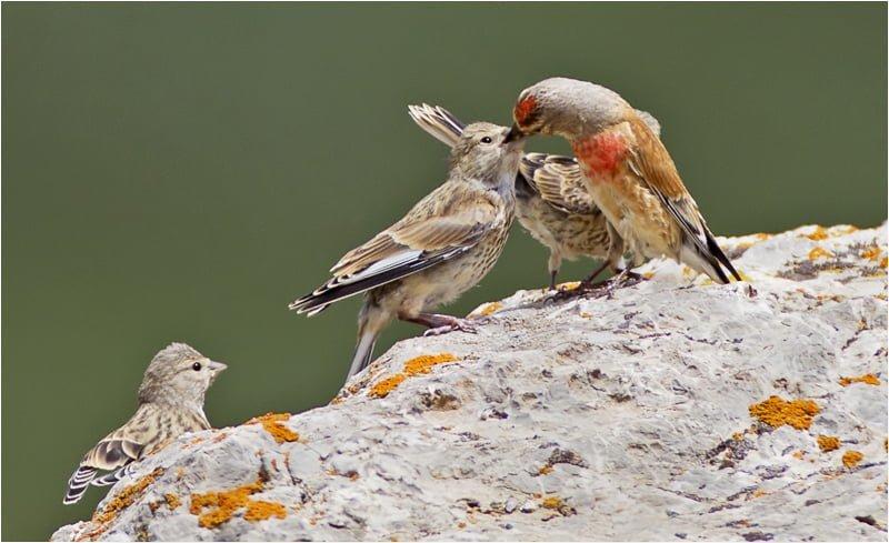 keten kuşu fotoğrafı