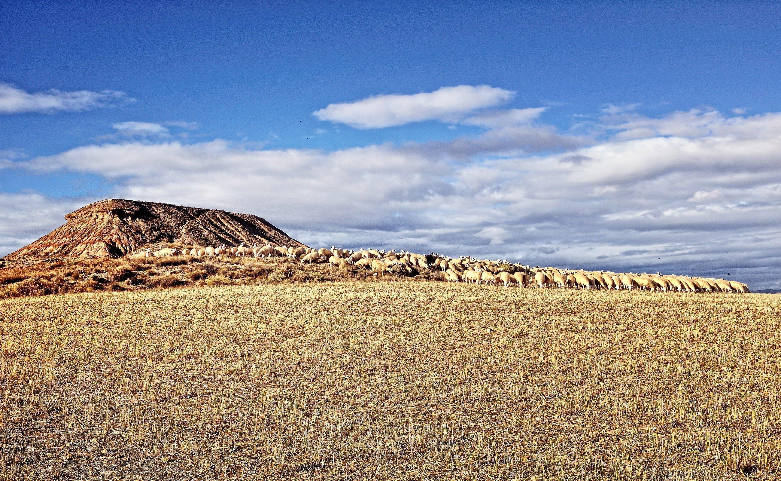 koyun sürüsü resmi