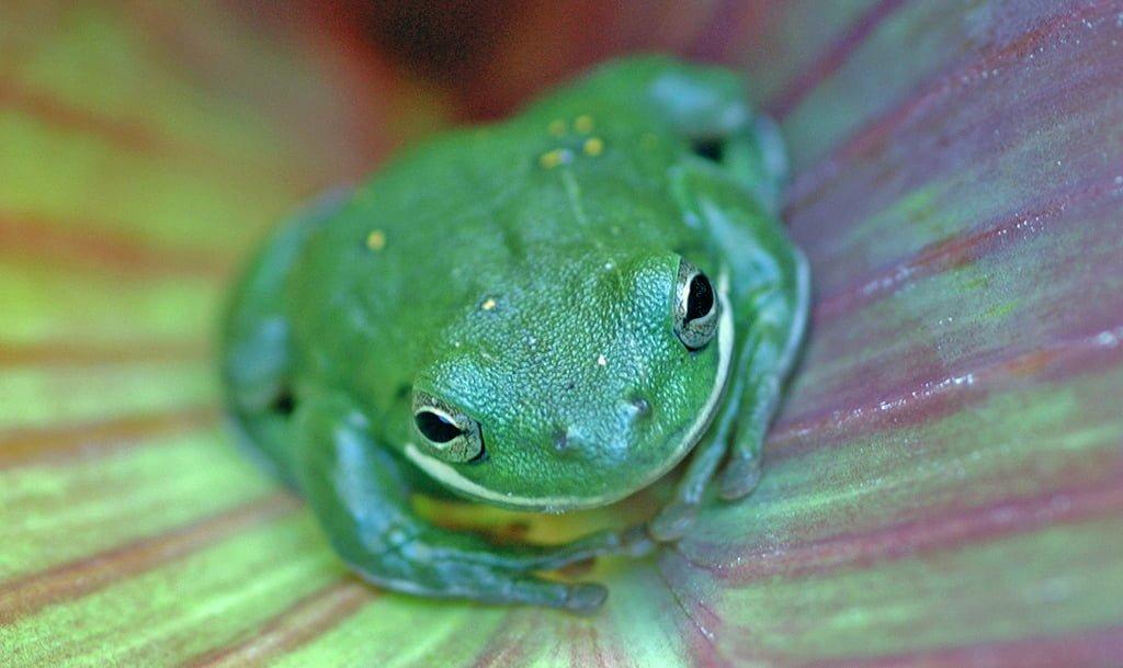 kurbağa gözleri