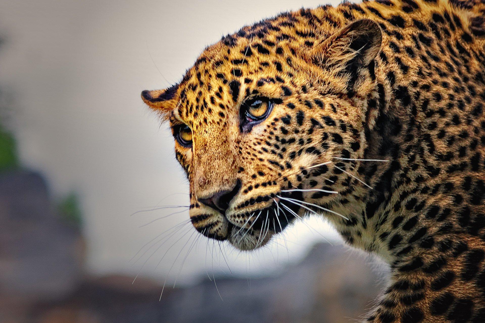 leopar görüntüsü