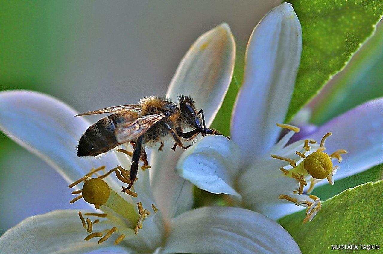 limon çiçeği ve arı