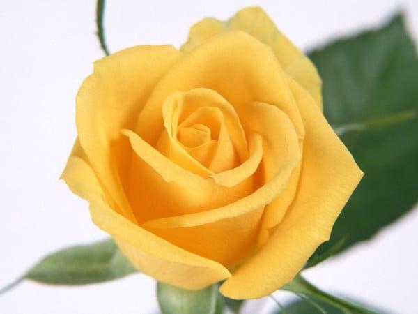 mükemmel sarı gül
