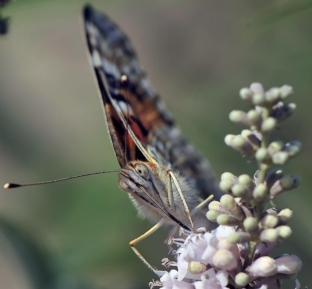 makro çekim kelebek