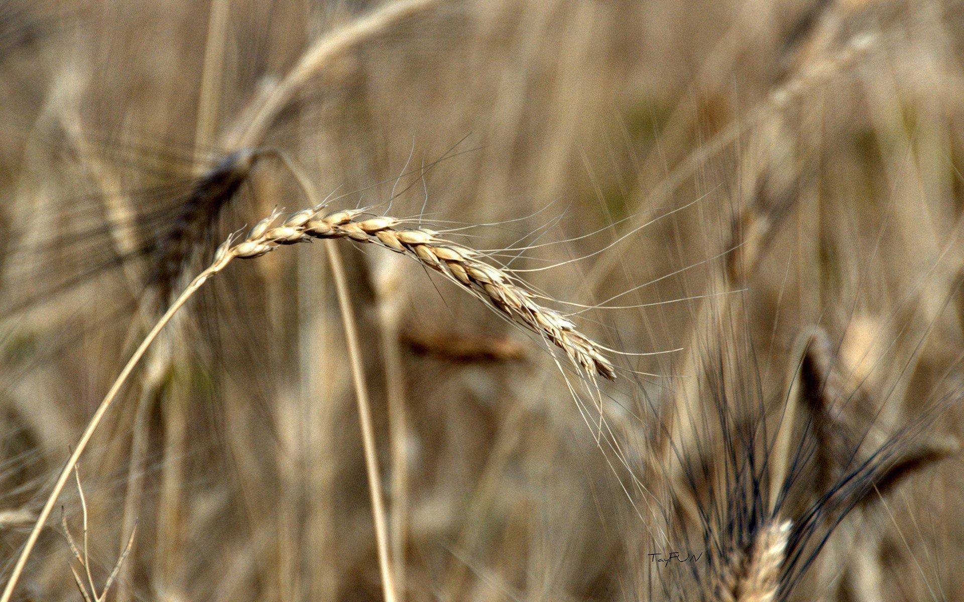 makro buğday
