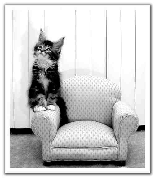 Manken Kedi
