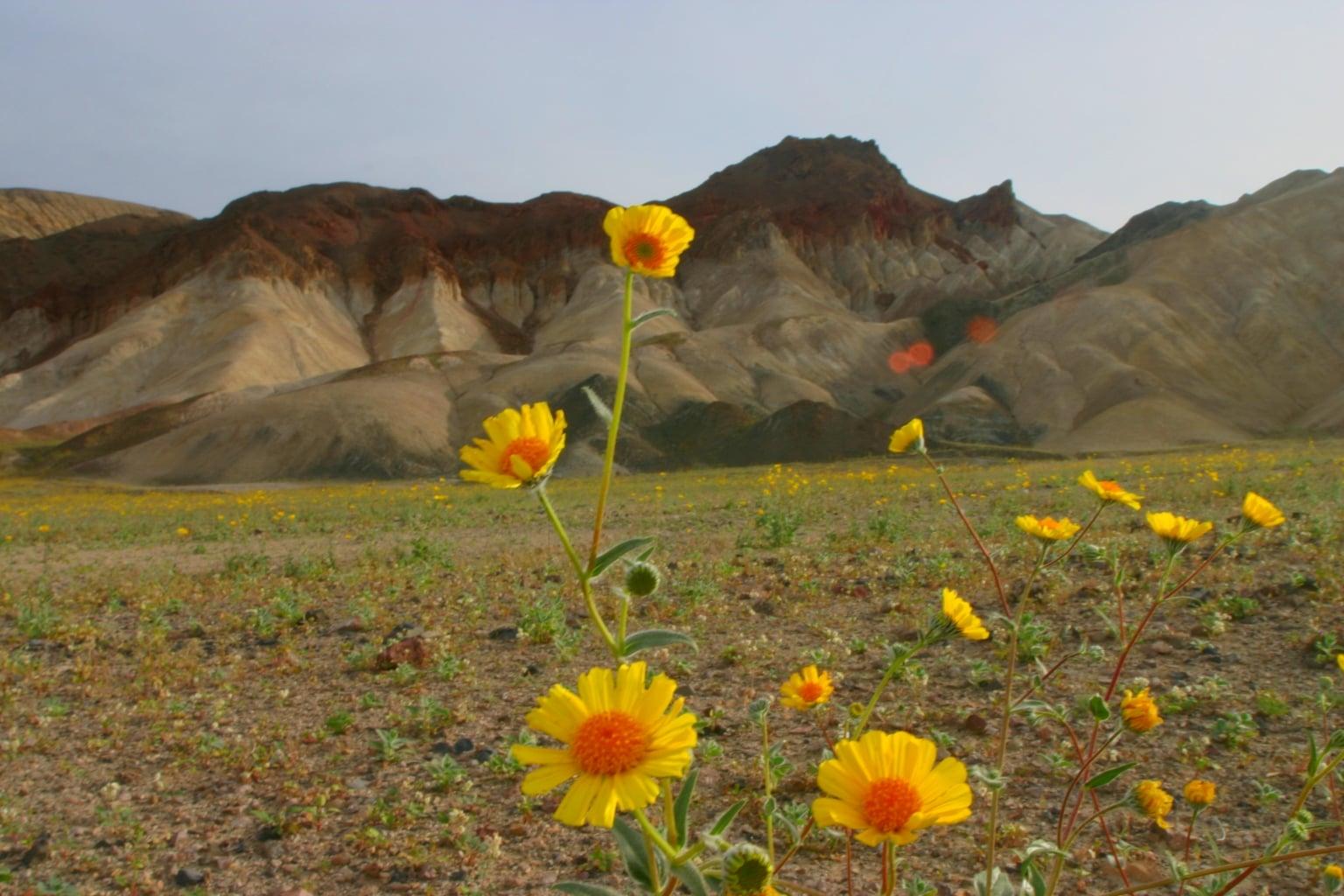 Sarı papatyalar ve dağ