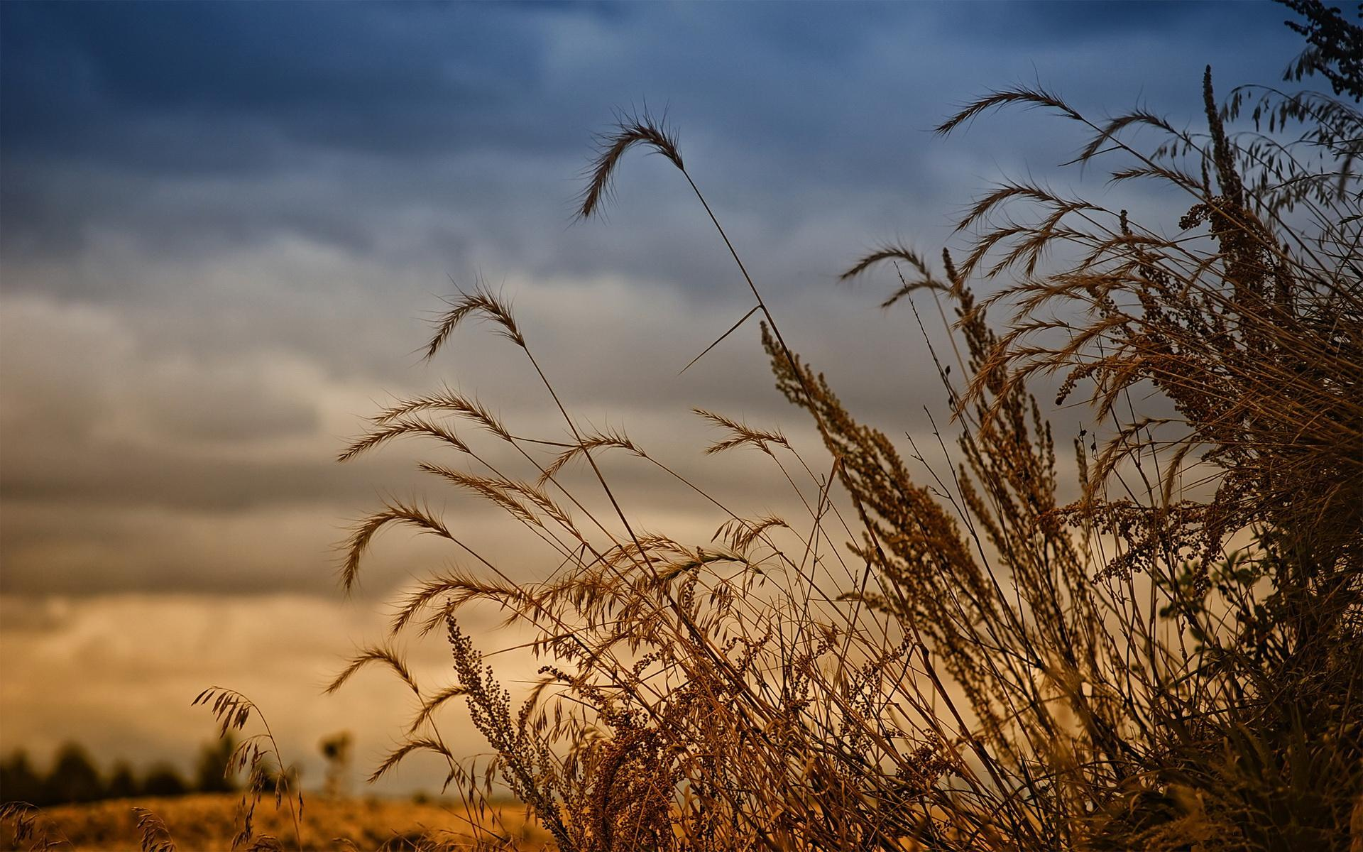 Buğday Başakları Manzarası