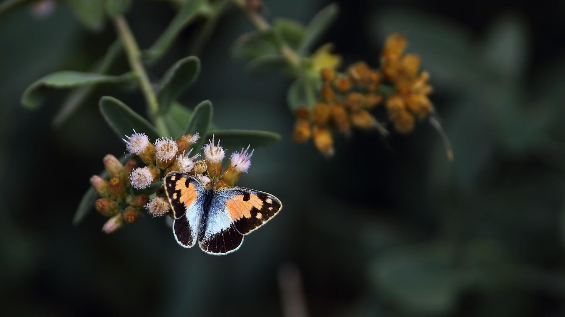 mavi benekli arap kelebeği