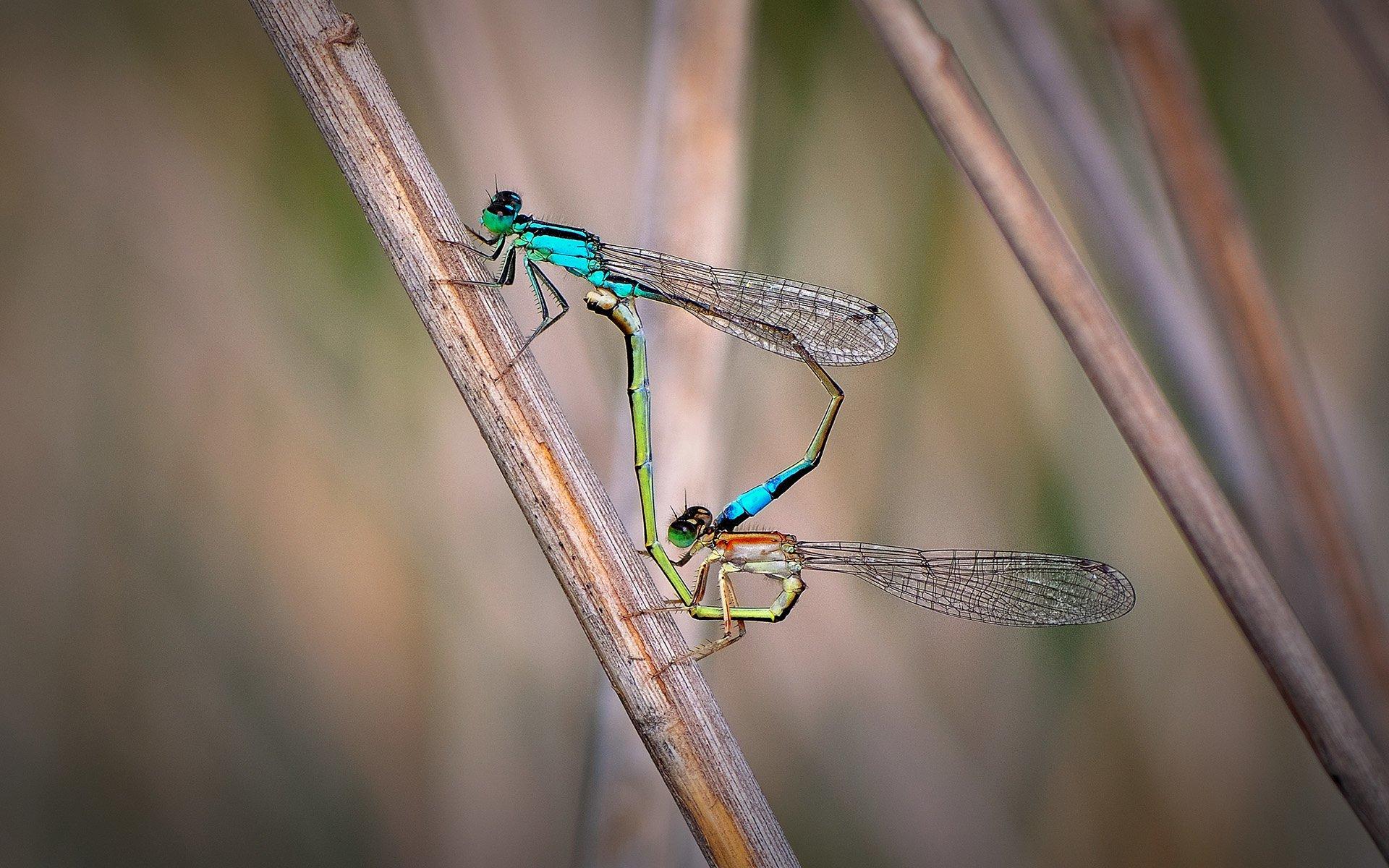 mavi kuyruklu iki yusufçuk