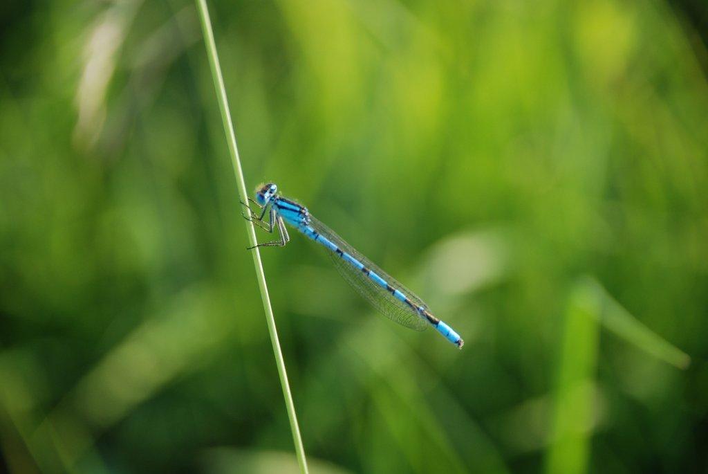 mavi siyah yusufçuk
