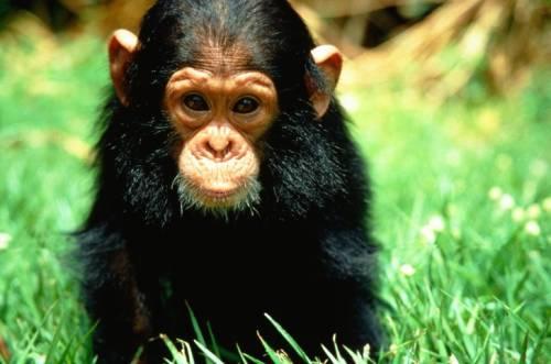 Maymunların Zekasıyla İlgili İlginç Araştırma