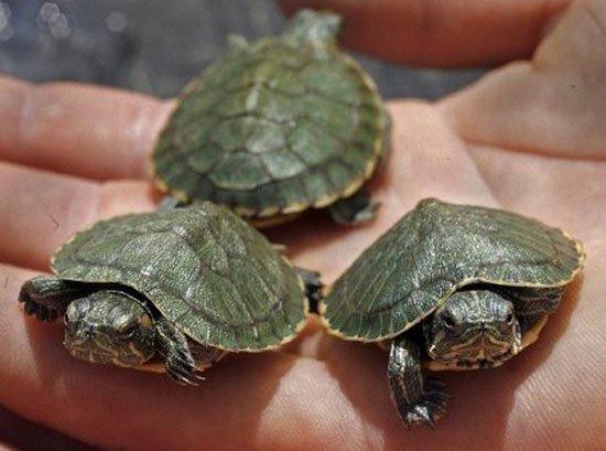 minik su kaplumbağaları