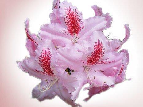 monaroza çiçeği