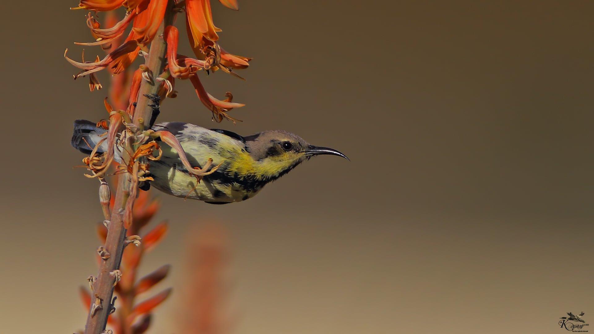 mor nektar kuşu