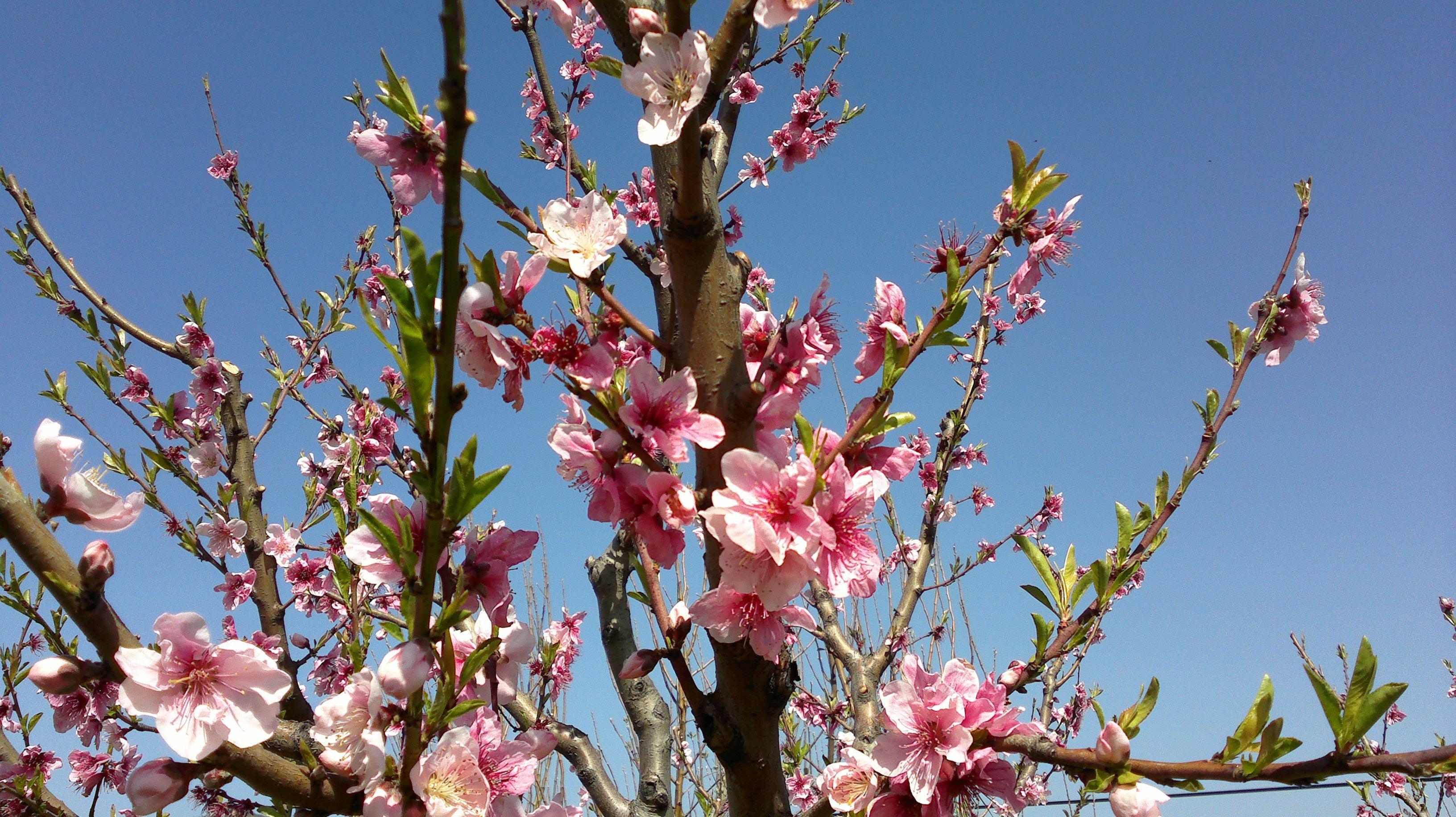 nektari ağacı