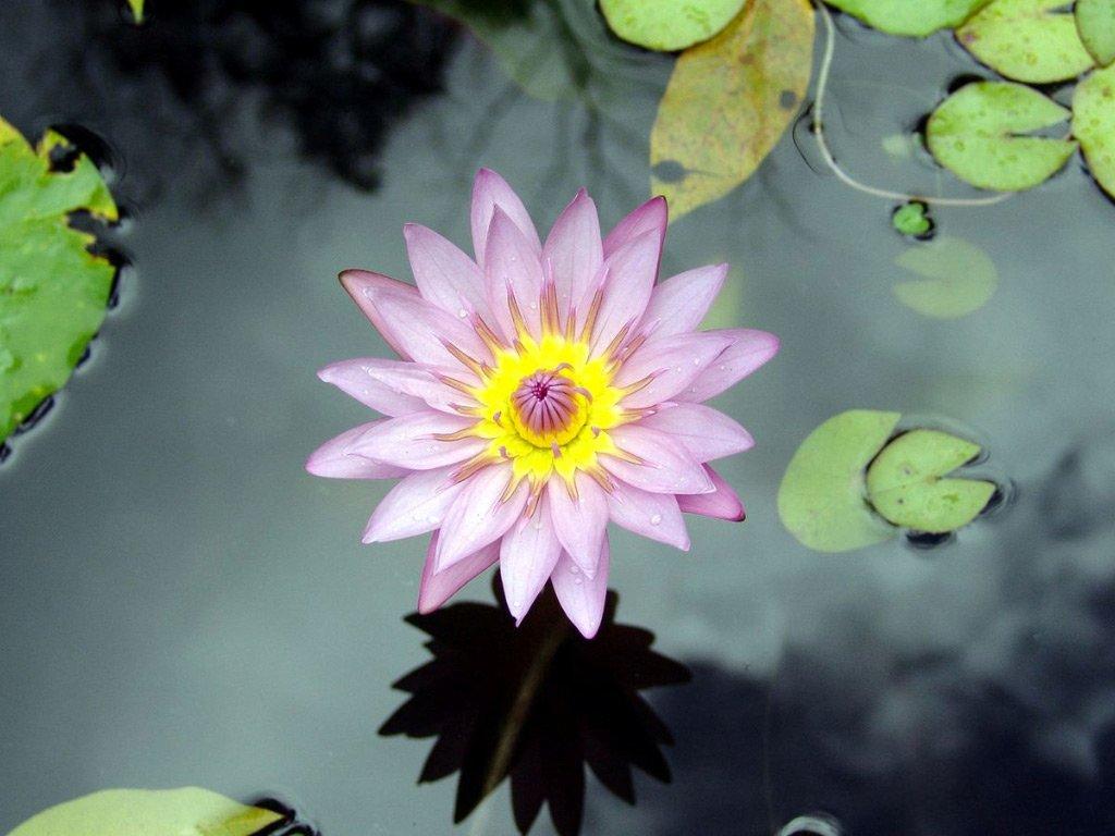 Nilüfer Çiçeği – 10
