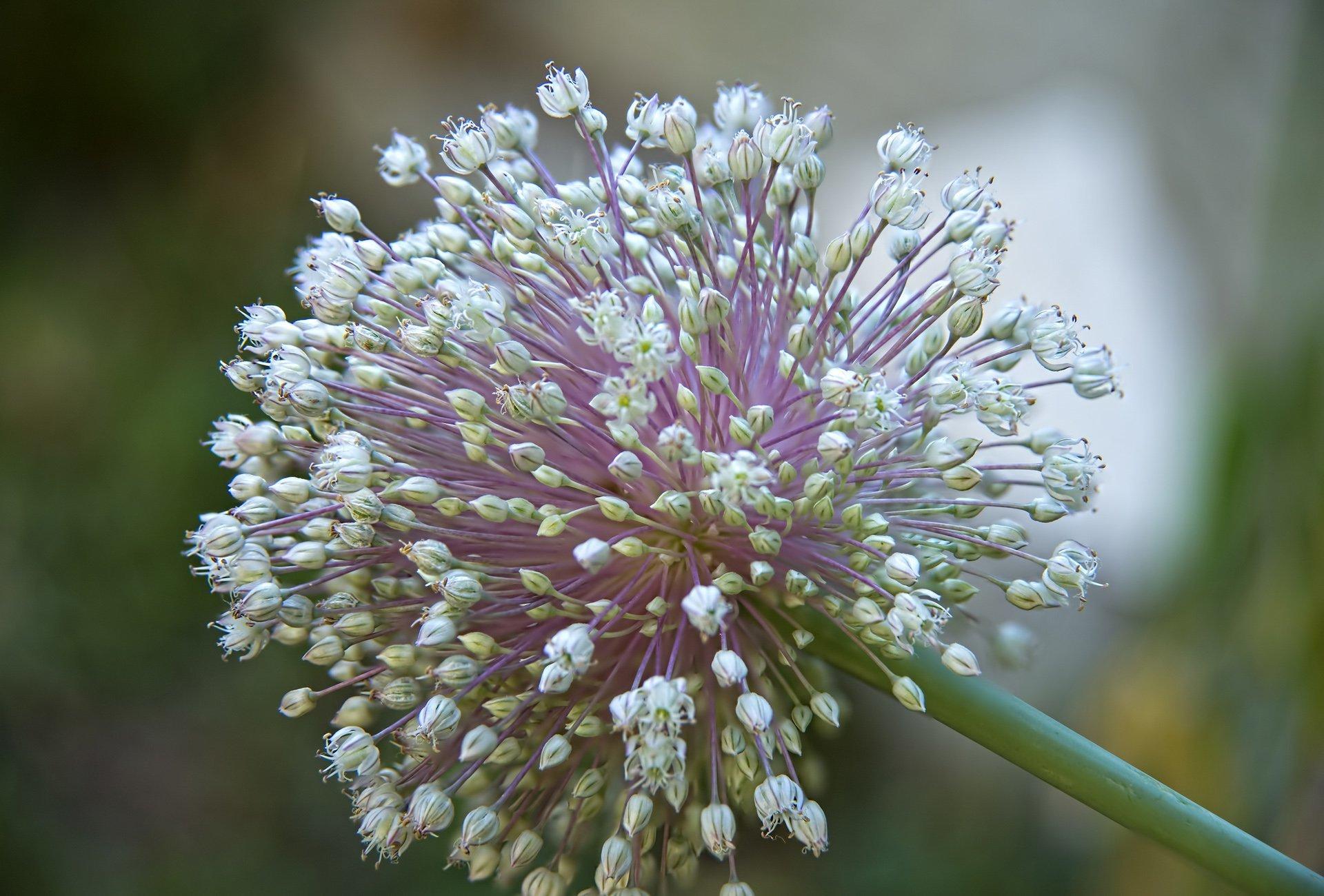 pırasa çiçeği resimleri