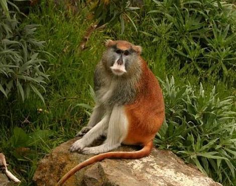 patas maymunu