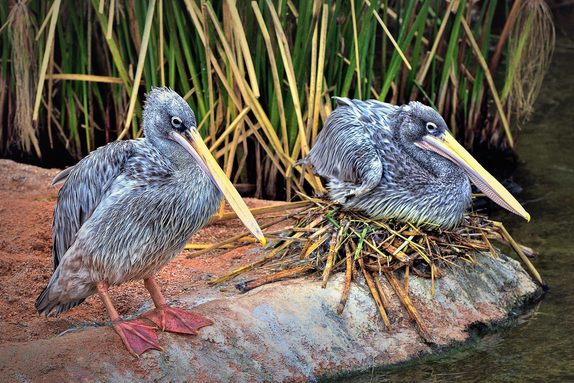 pelikan kuşları