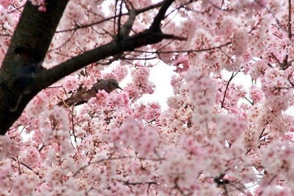 pembe çiçek ağacı