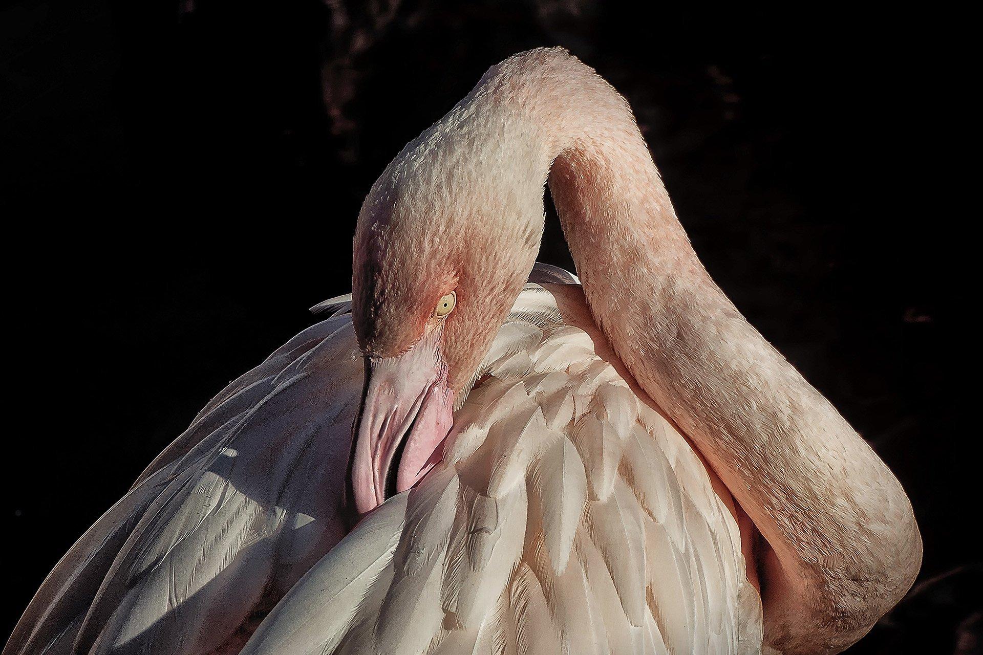pembe flamingo