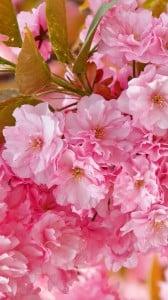 pembe japon sakura çiçeği  1080x1920