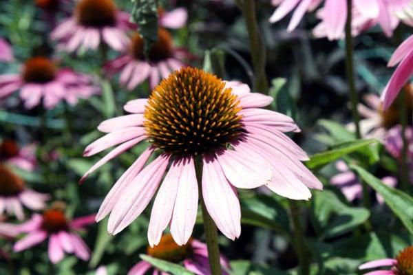 pembe pistilli çiçek