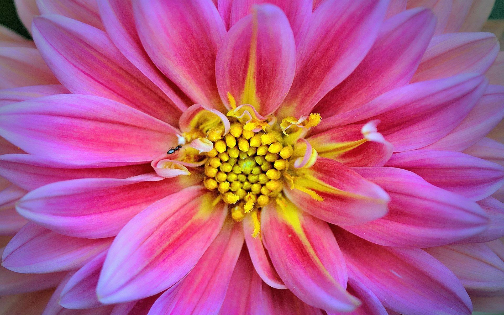 pembe yıldız çiçeği