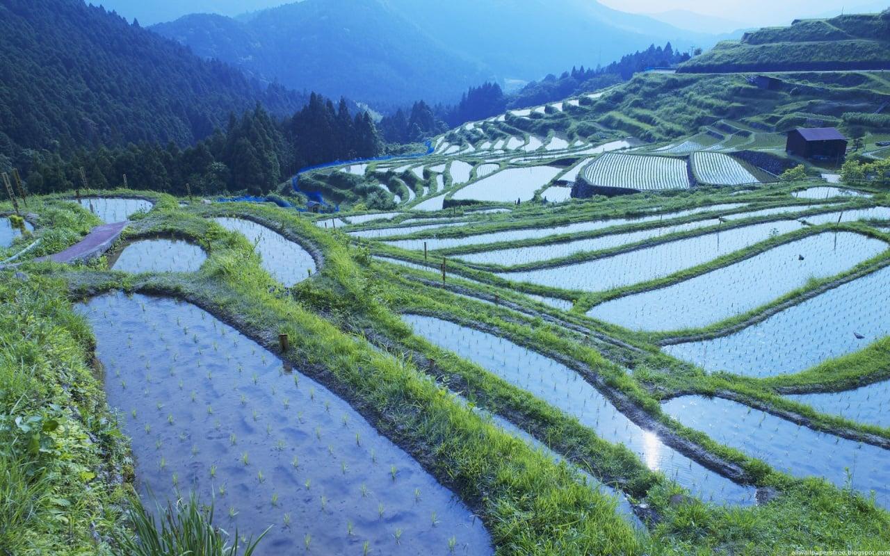 Pirinç tarlaları-01