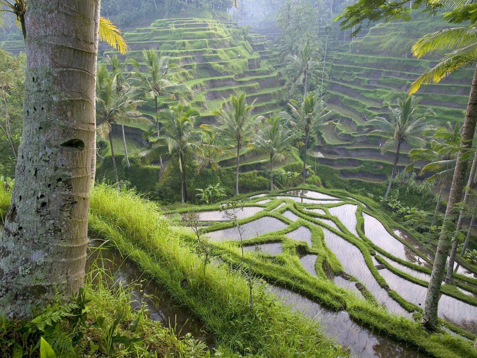 Pirinç tarlaları-02