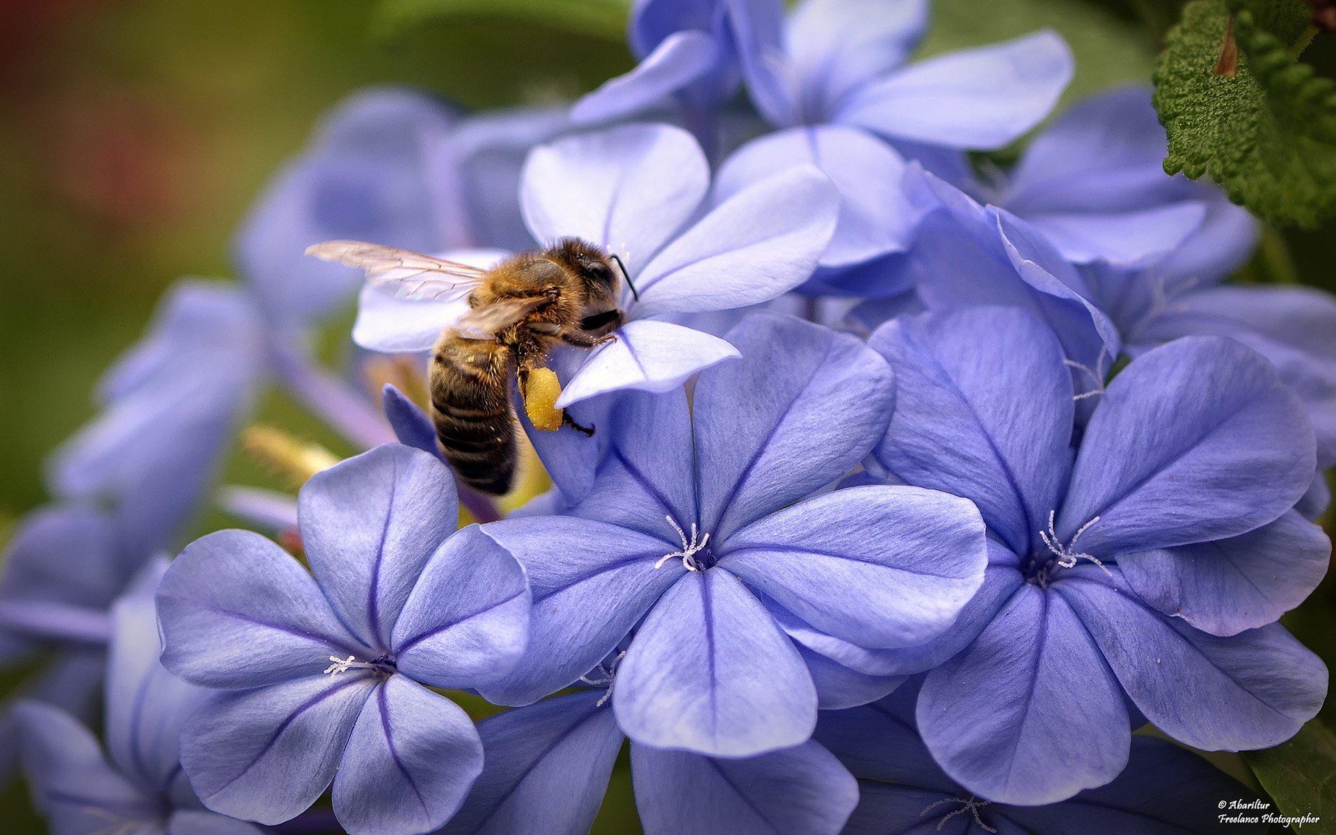 plumbago üzerindeki arı