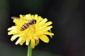 reçel sineği - 2