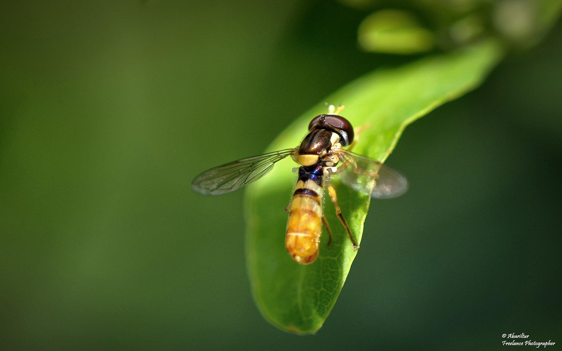 reçel sineği