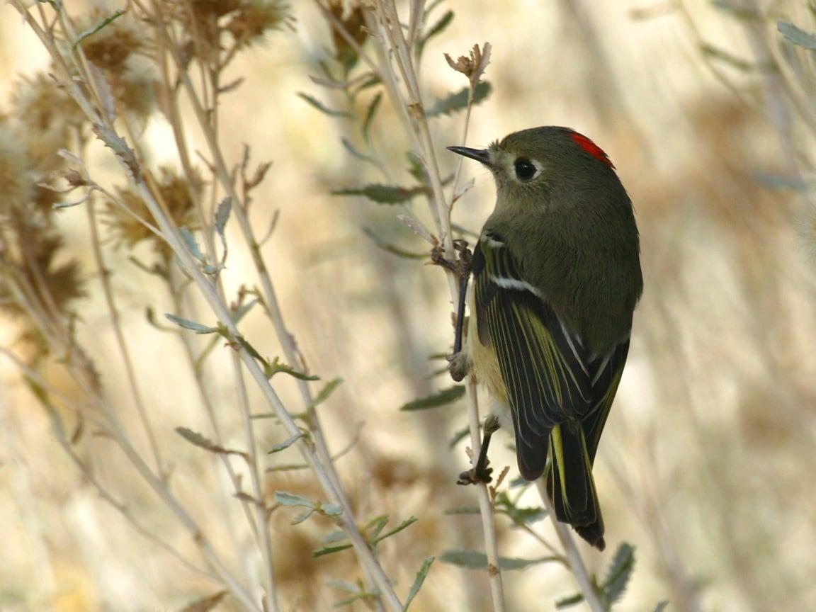 Ender Rastlanan Bir Kuş Türü