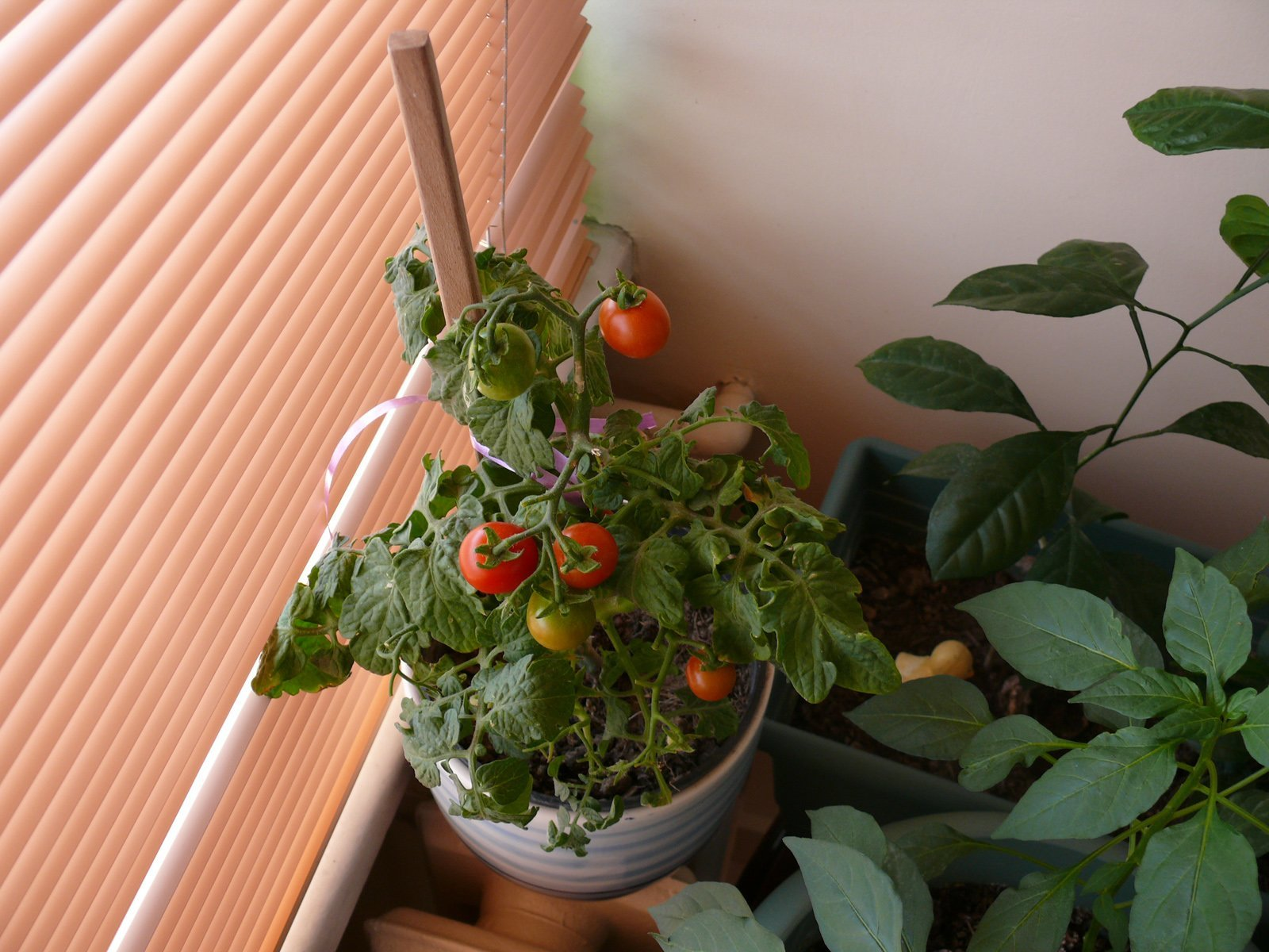 saksı domatesi