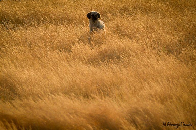 samanlıktaki çoban köpeği