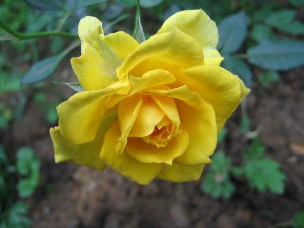 sarı gül fotoğrafı