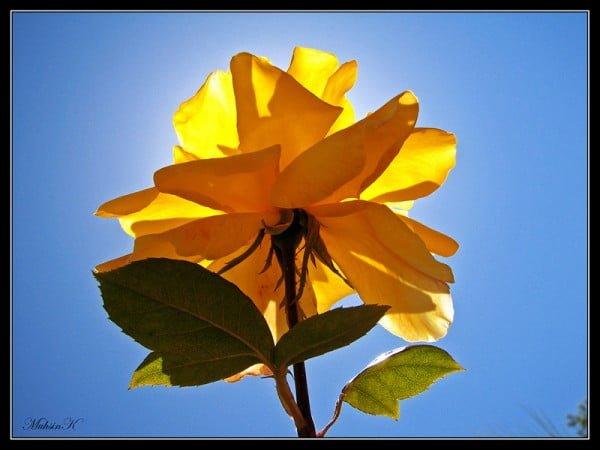 sarı gül resmi