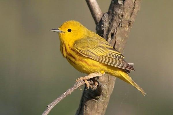sarı kuşlar