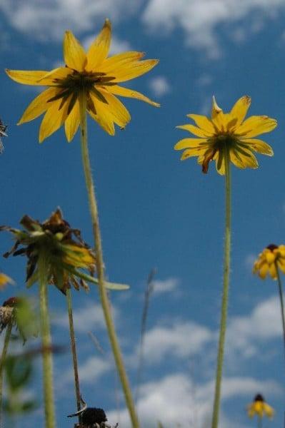 sarı mavi ay çiçeği