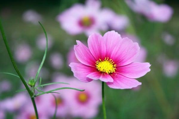 sarı polenli pembe çiçek
