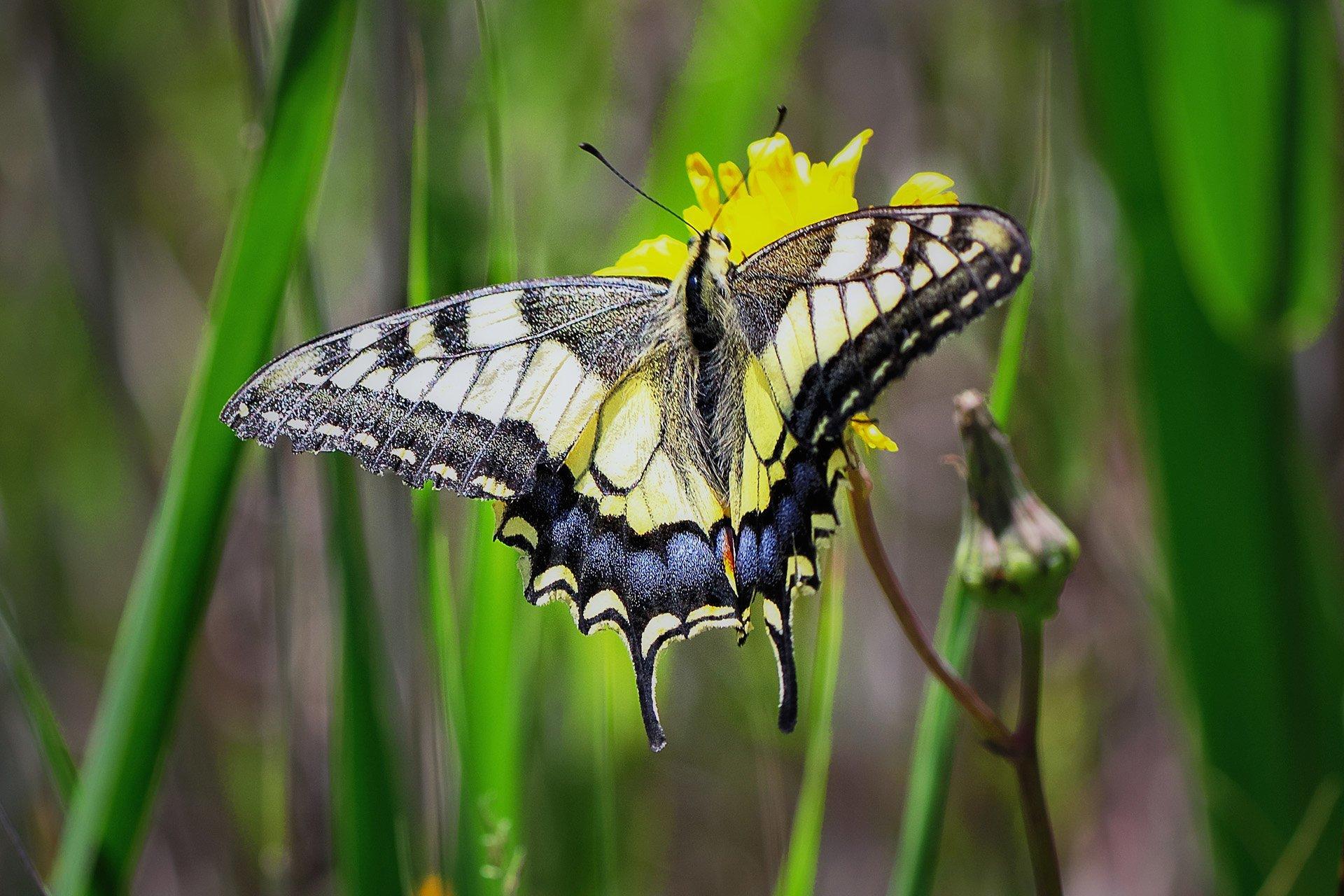 sarı siyah kelebek