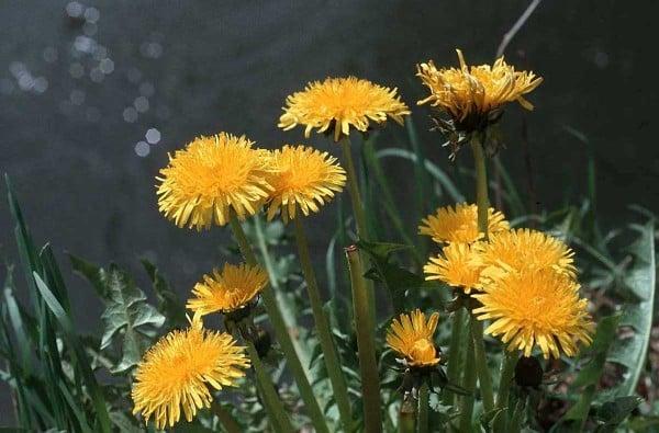 sarı türk çiçeği