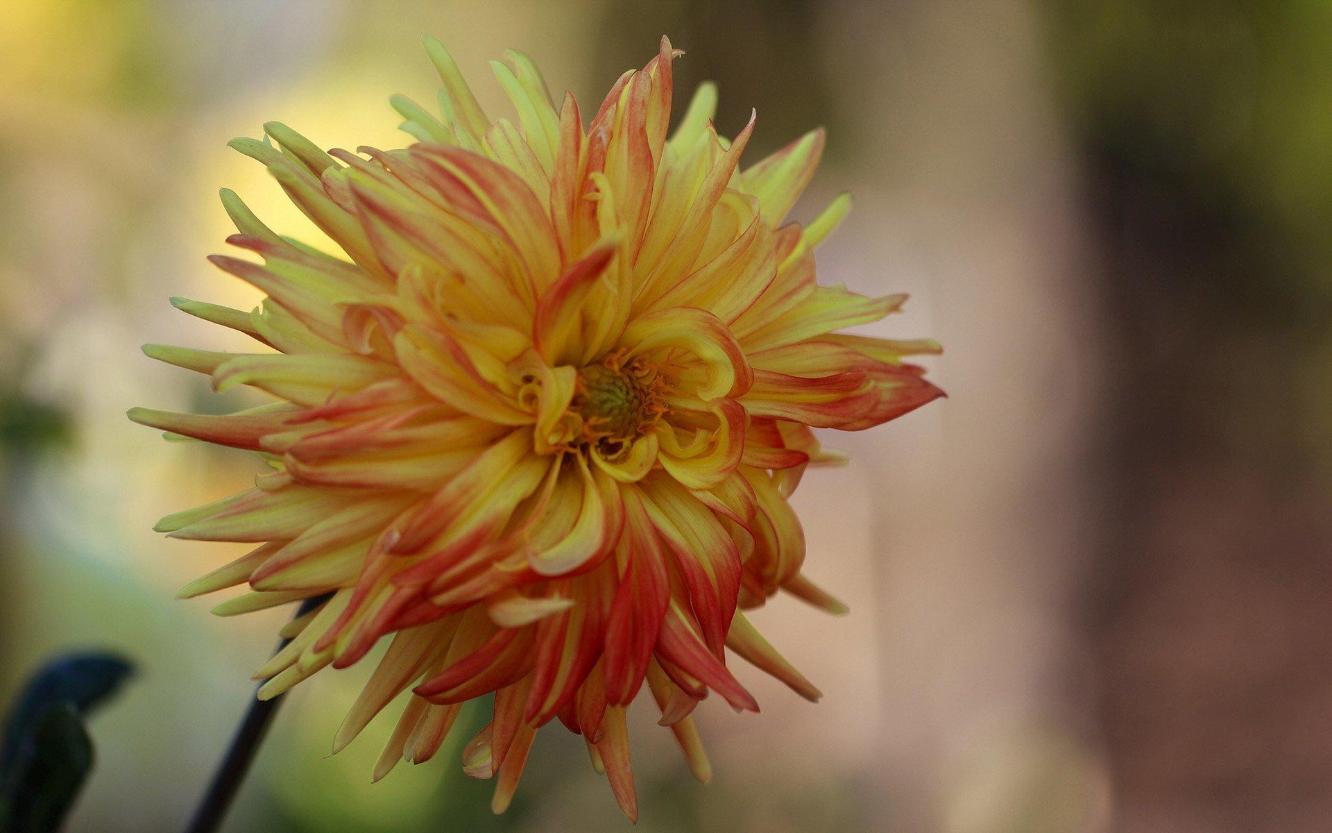 sarı yıldız çiçeği