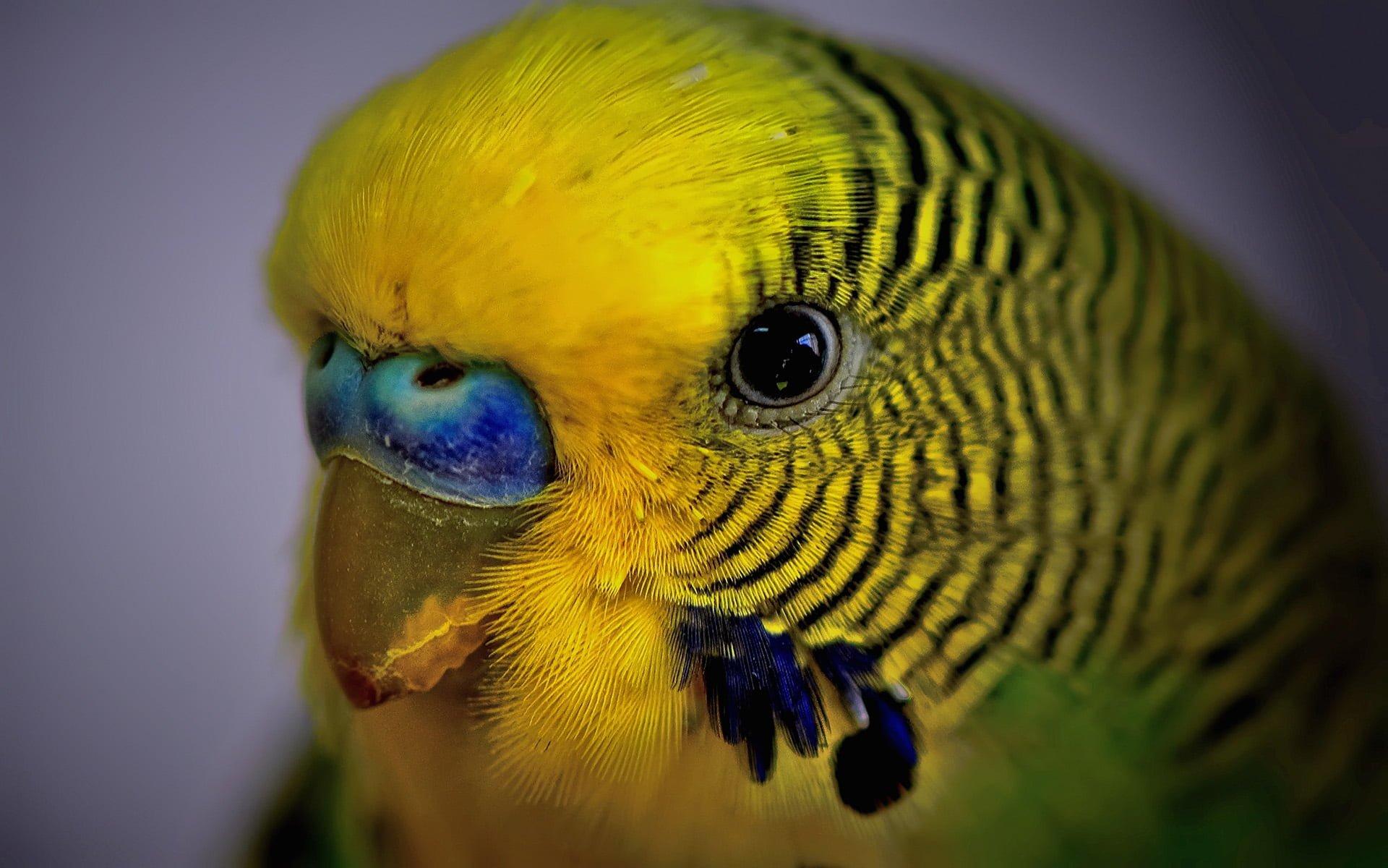 sarı yeşil muhabbet kuşu