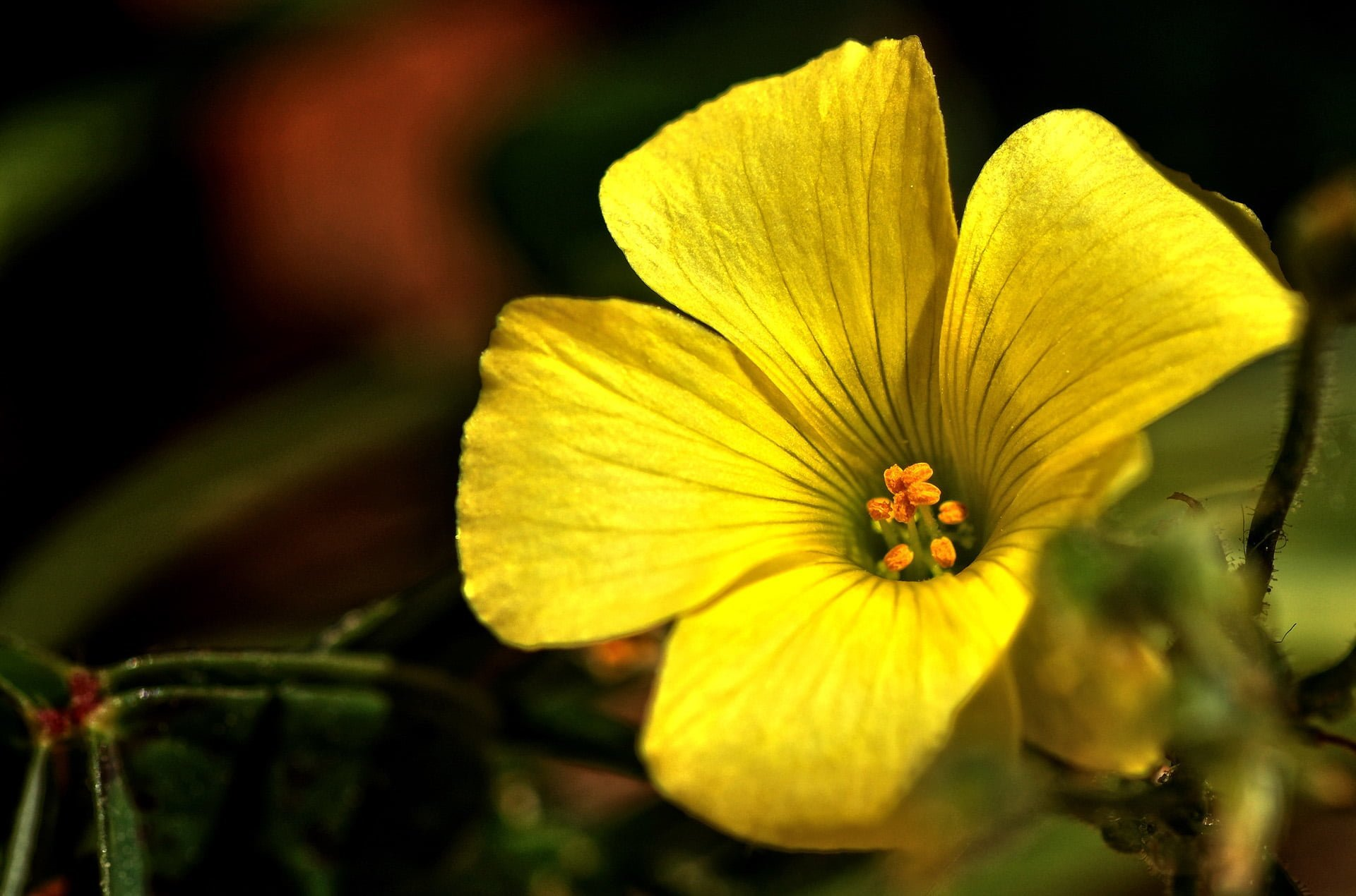 sarı yonca