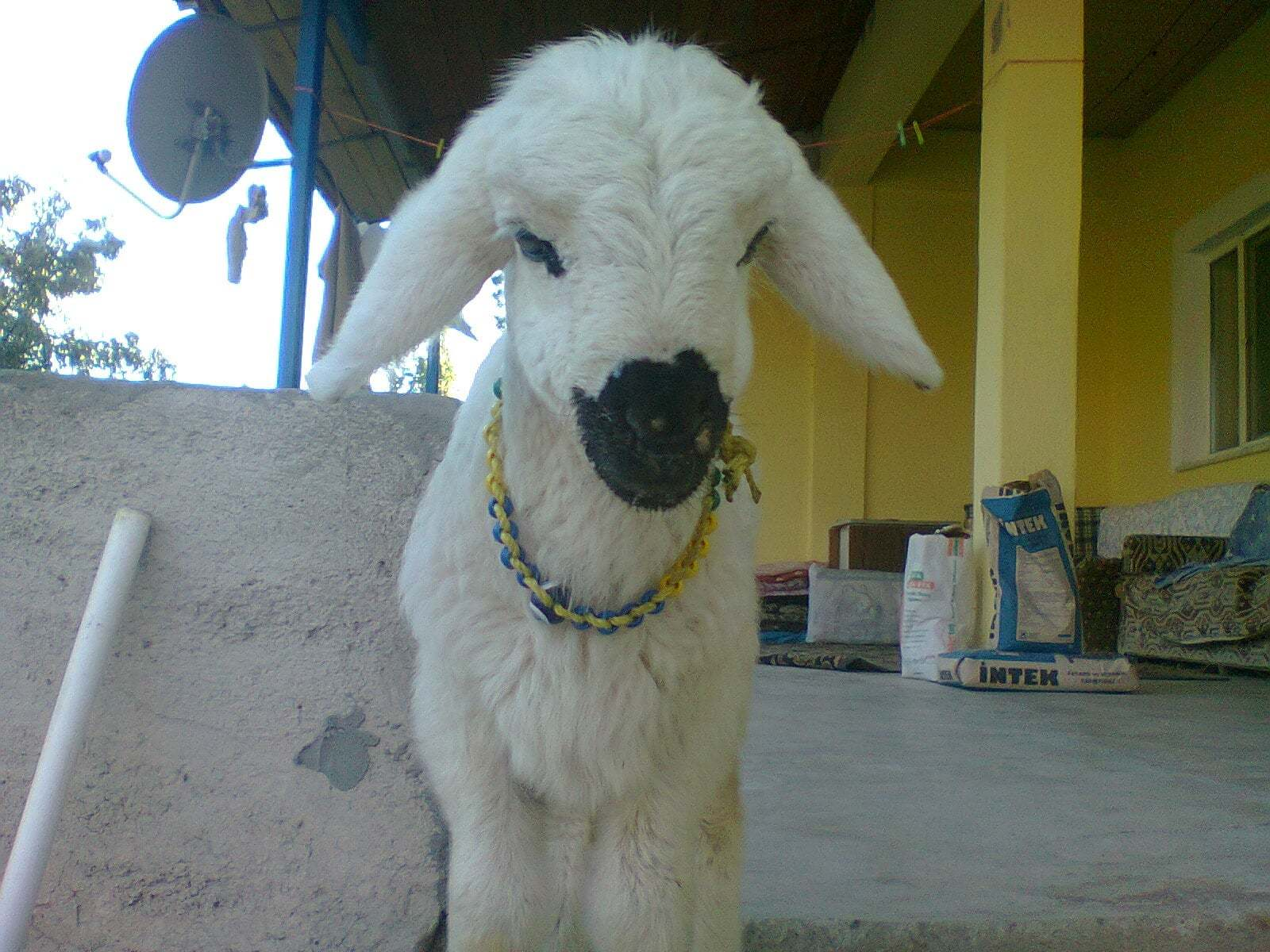 sevimli kuzu