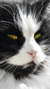 siyah beyaz kedi 1080x1920